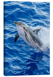 Canvas print  Adult striped dolphin - Michael Nolan