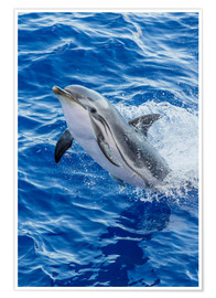Premium poster Adult striped dolphin