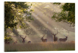 Acrylic print  Deer in morning mist - Stuart Black
