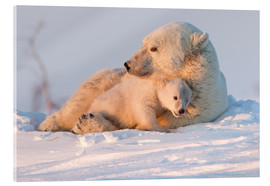 Acrylic print  Polar bear (Ursus maritimus) and cub, Wapusk National Park, Churchill, Hudson Bay, Manitoba, Canada, - David Jenkins