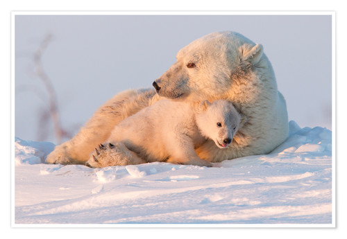 Premium poster Polar bear (Ursus maritimus) and cub, Wapusk National Park, Churchill, Hudson Bay, Manitoba, Canada,