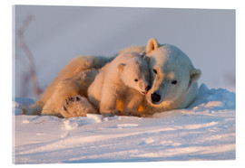 Acrylic print  Polar bear and cub, Wapusk National Park - David Jenkins