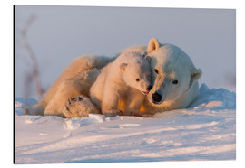 Aluminium print  Polar bear and cub, Wapusk National Park - David Jenkins