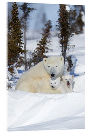 Acrylic print  Polar bear (Ursus maritimus) and cubs, Wapusk National Park, Churchill, Hudson Bay, Manitoba, Canada - David Jenkins