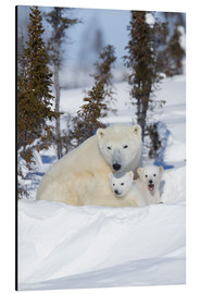 Aluminium print  Polar bear (Ursus maritimus) and cubs, Wapusk National Park, Churchill, Hudson Bay, Manitoba, Canada - David Jenkins