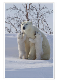 Premium poster Polar bear (Ursus maritimus) and cubs, Wapusk National Park, Churchill, Hudson Bay, Manitoba, Canada