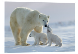 Acrylic print  Polar bear family, Wapusk National Park - David Jenkins