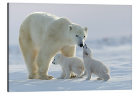 Alu-Dibond  Polar bear family, Wapusk National Park - David Jenkins