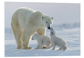 Foam board print  Polar bear family, Wapusk National Park - David Jenkins