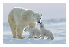 Premium poster  Polar bear family, Wapusk National Park - David Jenkins