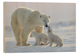 Wood print  Polar bear family, Wapusk National Park - David Jenkins