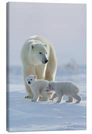 Canvas print  Polar bear (Ursus maritimus) and cubs, Wapusk National Park, Churchill, Hudson Bay, Manitoba, Canada - David Jenkins