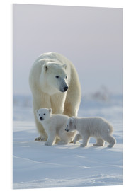 Foam board print  Polar bear (Ursus maritimus) and cubs, Wapusk National Park, Churchill, Hudson Bay, Manitoba, Canada - David Jenkins