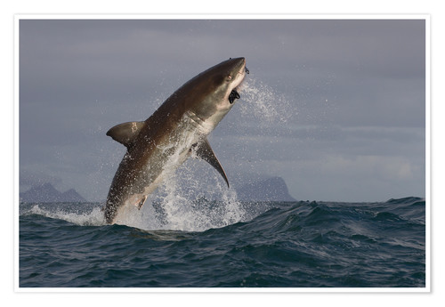 Premium poster Great white shark (Carcharodon carcharias), Seal Island, False Bay, Simonstown, Western Cape, South