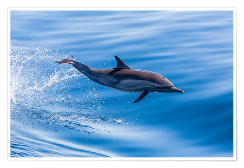 Premium poster Long-beaked common dolphin leaping