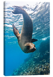 Canvas print  Galapagos sea lion - Michael Nolan