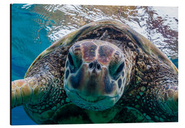 Aluminium print  Green sea turtle - Michael Nolan