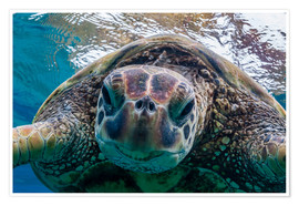 Poster  Green sea turtle  - Michael Nolan