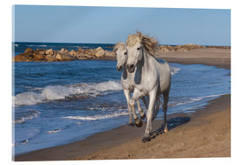 Acrylic print  Camargue horses on the beach