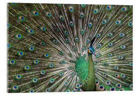 Acrylic glass  Java green peafowl (Pavo muticus) - Gabrielle & Michel Therin-Weise