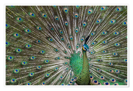 Gabrielle & Michel Therin-Weise - Java green peafowl (Pavo muticus)