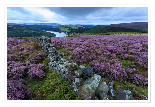 Premium poster Heather covered Bamford Moor and dry stone wall