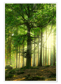 Premium poster Sunlight in forest