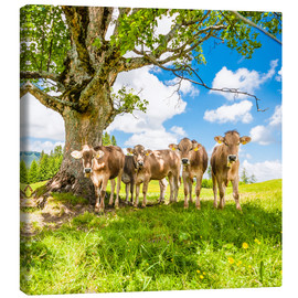 Canvas print  Calves in the Allgäu - Jan Schuler