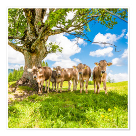 Premium poster Calves in the Allgäu