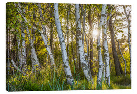 Canvas print  Sunny birch forest - Christian Müringer