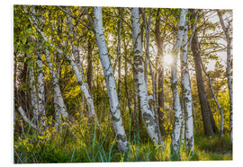 Foam board print  Sunny birch forest - Christian Müringer