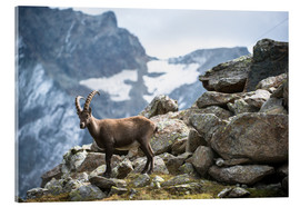 Acrylic print  Alpine ibex above Saas Fee, Switzerland. - Peter Wey