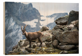 Wood print  Alpine ibex above Saas Fee, Switzerland. - Peter Wey