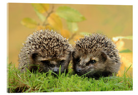 Acrylic print  two little hedgehog - Uwe Fuchs