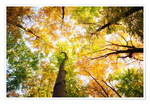 Premium poster Treetops in autumn