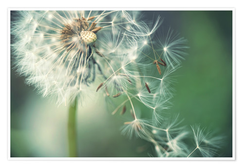 Premium poster Dandelion in the wind