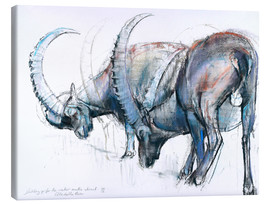 Canvas print  Ibex searching food - Mark Adlington