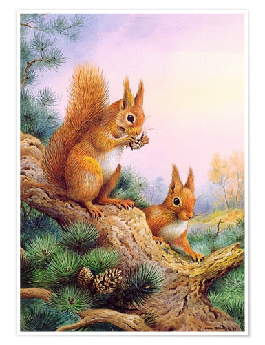 Premium poster Pair of Red Squirrels on a Scottish Pine