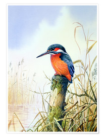 Premium poster  Kingfisher - Carl Donner
