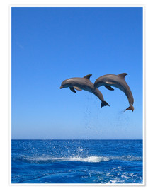 Poster  Playful dolphins - Stuart Westmorland