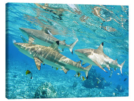 Canvas print  Blacktip - M. Swiet