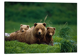 Aluminium print  Grizzly bear with cubs - Jo Overholt