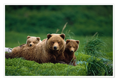 Premium poster Grizzly bear with cubs