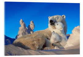 Acrylic print  Polar bears cuddling in snow - Tom Soucek