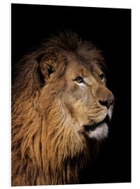 Foam board print  Portrait of a lion - Bill Schildge