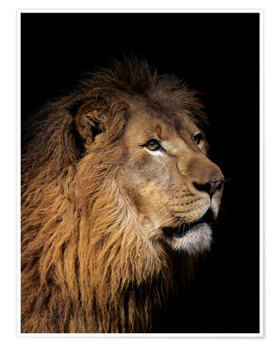 Premium poster Portrait of a lion