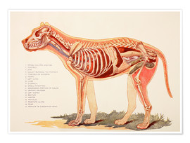 Premium poster  Internal organs of a dog - Ken Welsh