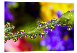 Acrylic print  Water Drops On A Flower Stem - Craig Tuttle