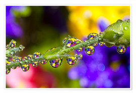 Poster Water Drops On A Flower Stem