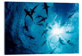 Acrylic print  Grey Reef Sharks - Dave Fleetham